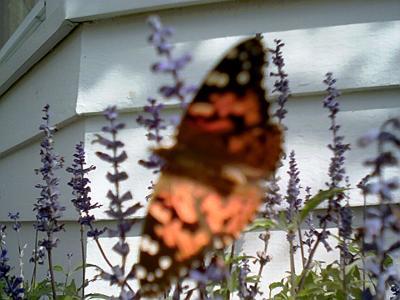 big_butterfly.jpg